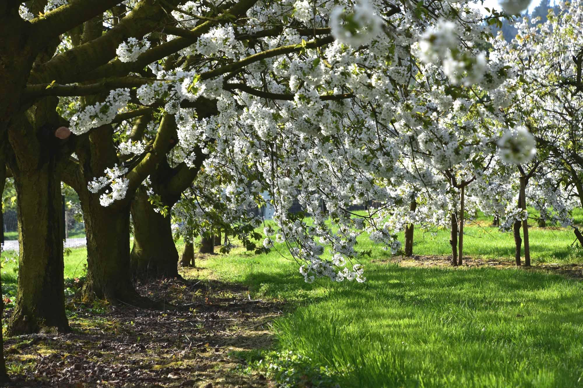 kirschbaume