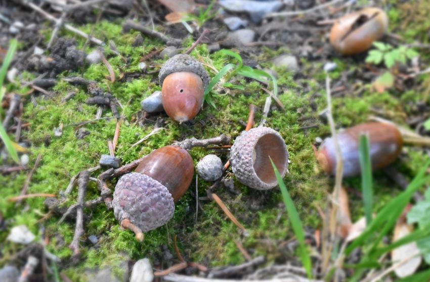 Früchte der Steineiche
