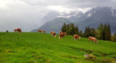 Wanderung auf dem AlpRundweg Leiterli auf dem Betelberg oberhalb Lenk im Simmental. Via Alp Steistoos geht es von der Bergstation Leiterli auf einen aussichtsreichen Themenweg.