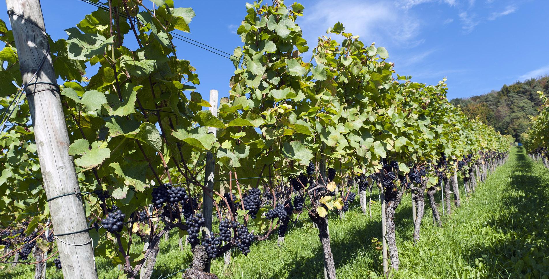 Wanderung auf dem Weinweg in Weinfelden